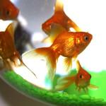 Золотая рыбка символизирует успех в финансовых делах. Аквариум с золотыми рыбками - один из самых мощных талисманов богатства.