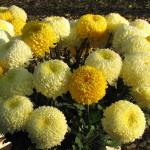 Хризантемы олицетворяют денежную удачу.