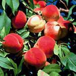 Персики - классический талисман здоровья и долголетия.