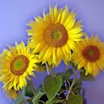 Подсолнух - символ солнечной энергии жизни и здоровья.