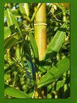 На востоке большой популярностью пользуется растущий бамбук - он символизирует крепкое здоровье и долголетие для обитателей дома.